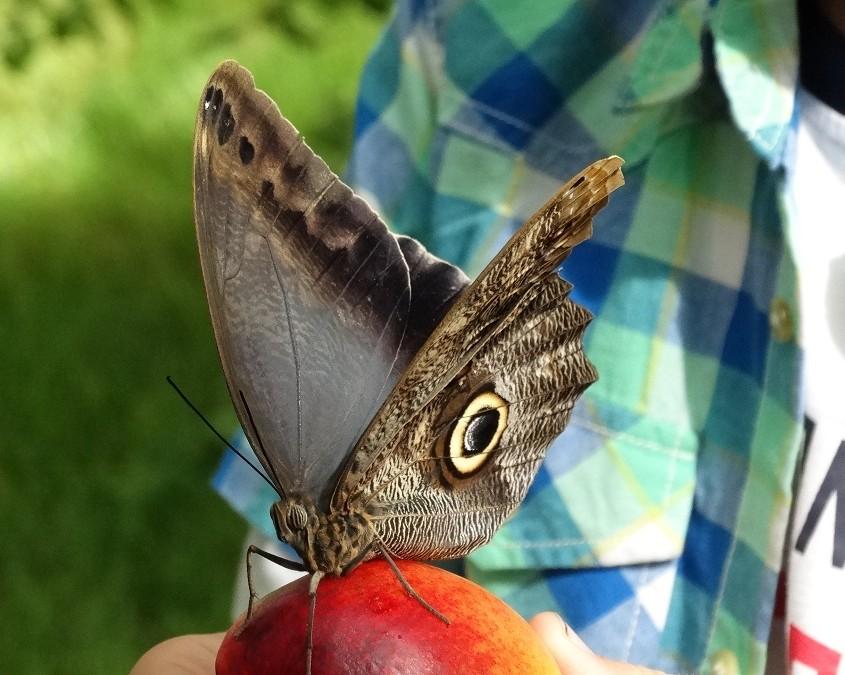 Jos otti hedelmän käteensä, niin perhoset tulivat syömään sitä.